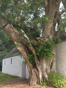 l'arbre multicentenaire entourant la chapelle